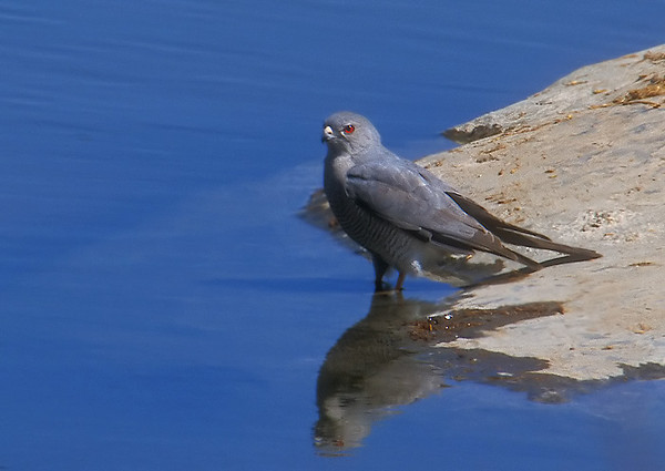 Namibian Sparrowhawk.