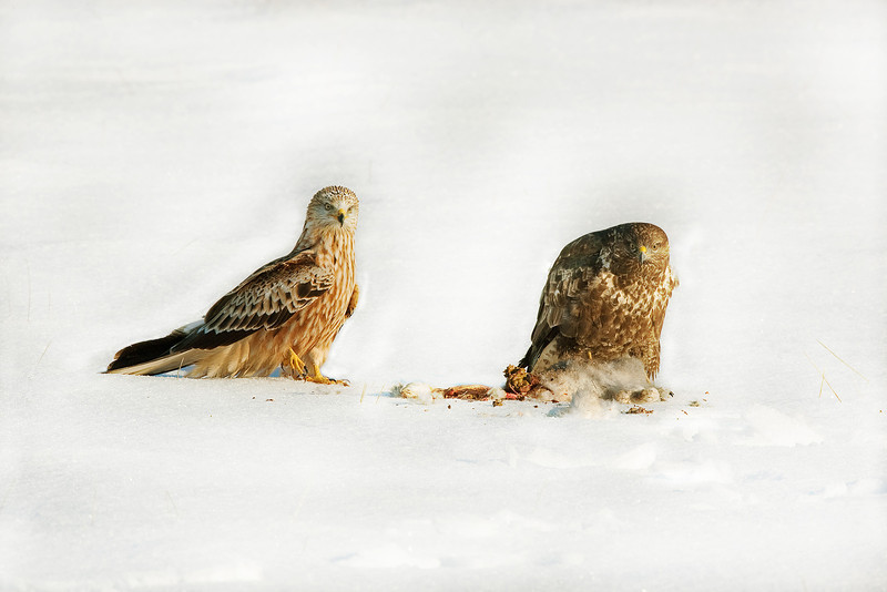 Red Kite and Buzzard guarding Food.