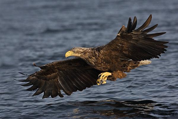 White Tail Sea Eagle. Norway.