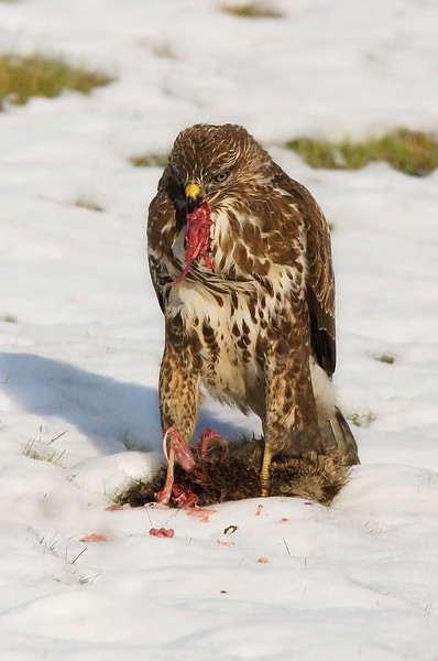 Buzzard with food.