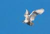 Wild Snowy Owl. John Chapman.