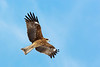Black Kite, John Chapman.