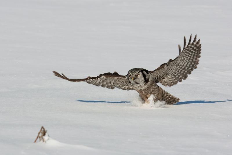 Hawk Owl John Chapman.