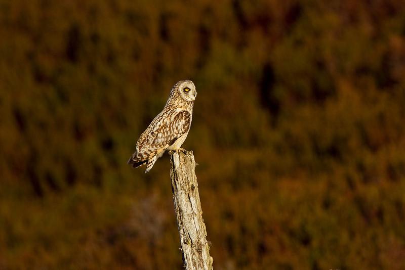 Short-eared Owl. Female.
