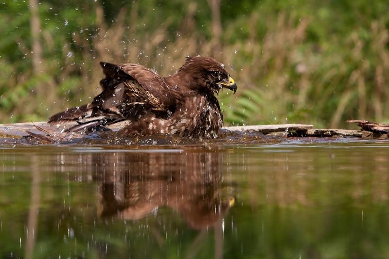 Buzzard Bathing John Chapman.