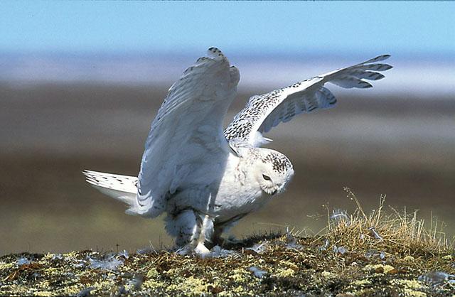 Snowy Owl. Winner RPS Gold Medal. 2000.