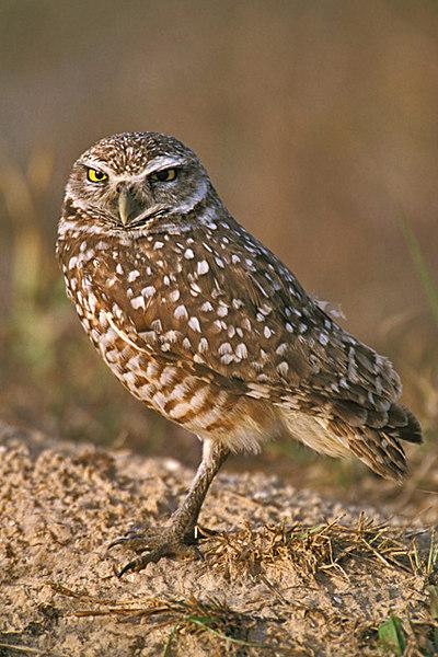Burrowing Owl. John Chapman.
