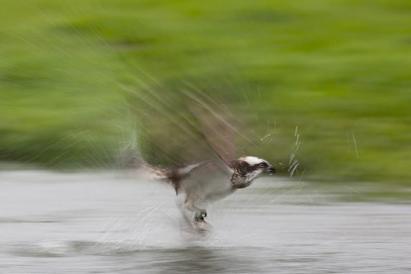 Osprey in motion.