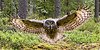 Great Grey Owl. John Chapman.