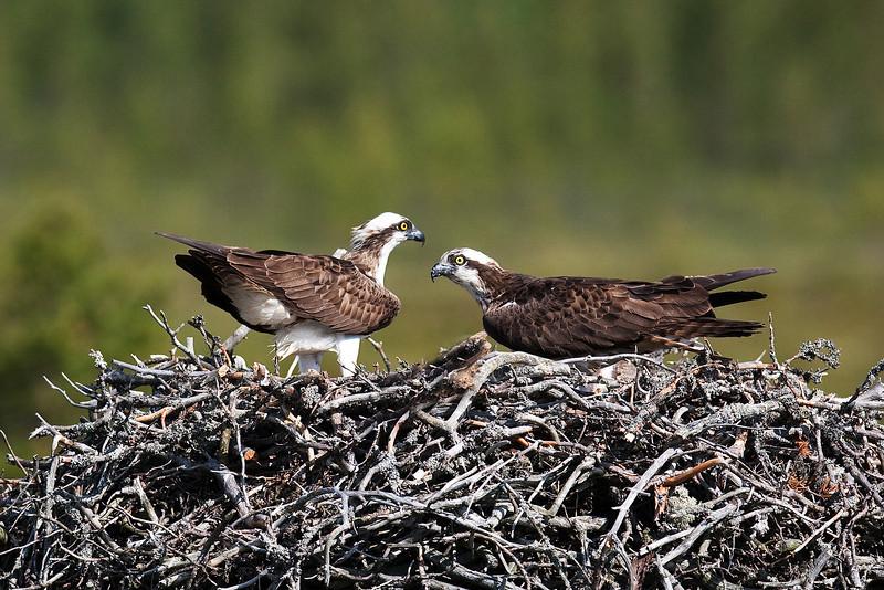 Ospreys at nest.