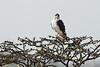 Black Shoulder Hawk.
