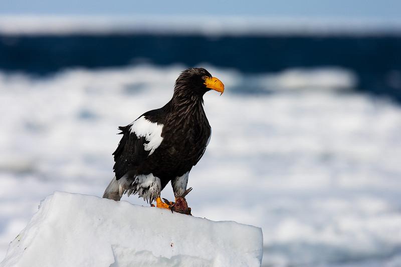 Stellers Eagle.