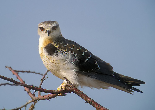 Black Shouldered Hawk. John Chapman.