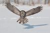 Great Grey Owl. John Chapman.