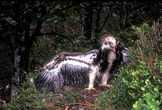 Golden Eagle Chick 8 Weeks Old Approx. John Chapman.