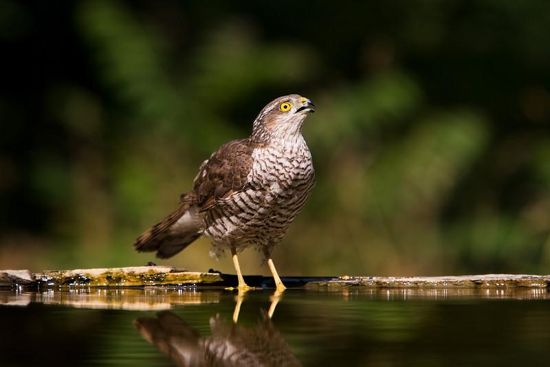 Sparrow Hawk taking a drink. John Chapman.