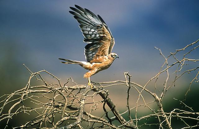 Juv. Montagu's Harrier. Oman. John Chapman.