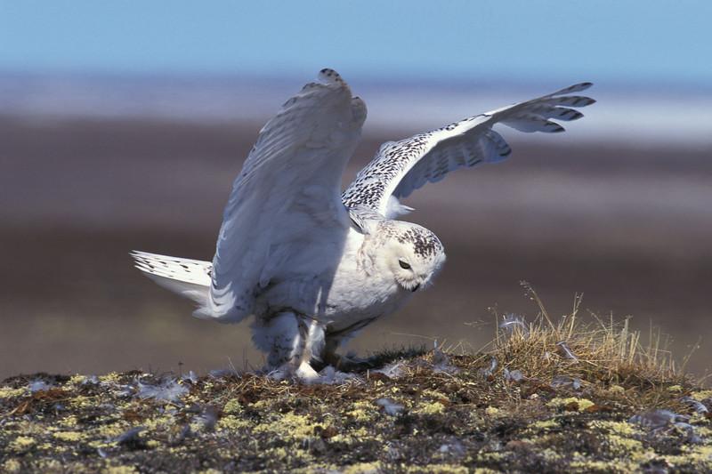 Snowy Owl. RPS International Slide Exhibition 2003. Nature Category Winner. SPF Gold Medal. Best Natural History .