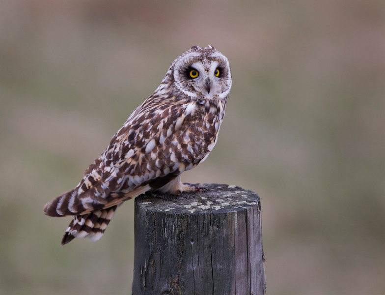 Short-Eared Owl. Female. Accepted in the Local press. John Chapman.