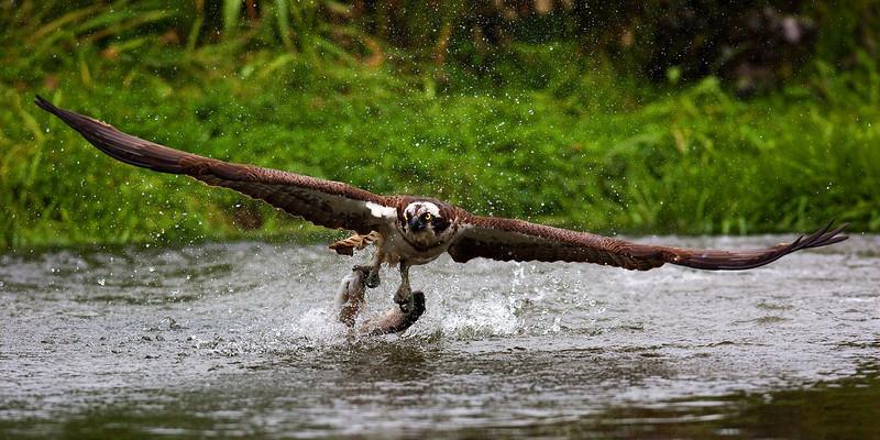 Osprey with 2 Fish. John Chapman.