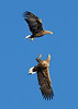 White Tail Sea eagles fighting.
