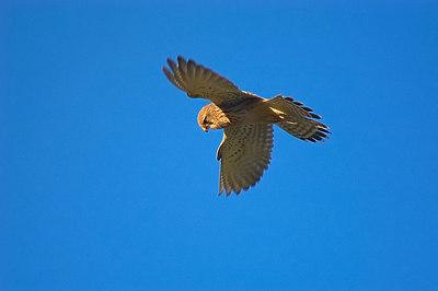 Female Kestrel. Hunting. John Chapman.