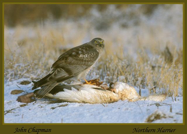 Male Northern Harrier. Bosque Del Apache.