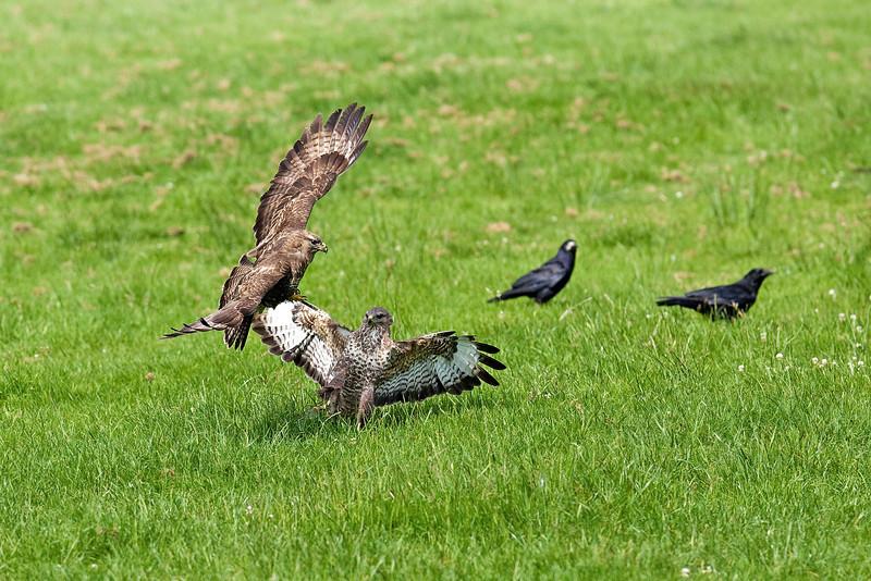 Buzzards Fighting.