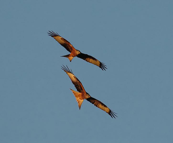 Red Kites Scotland.