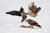 2 Buzzards fighting with a Red Kite on Rabbit.