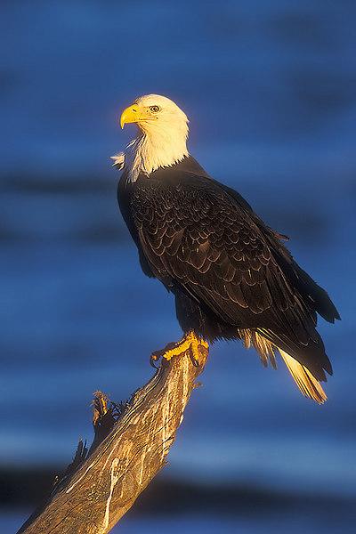 Bald Eagle. John Chapman.