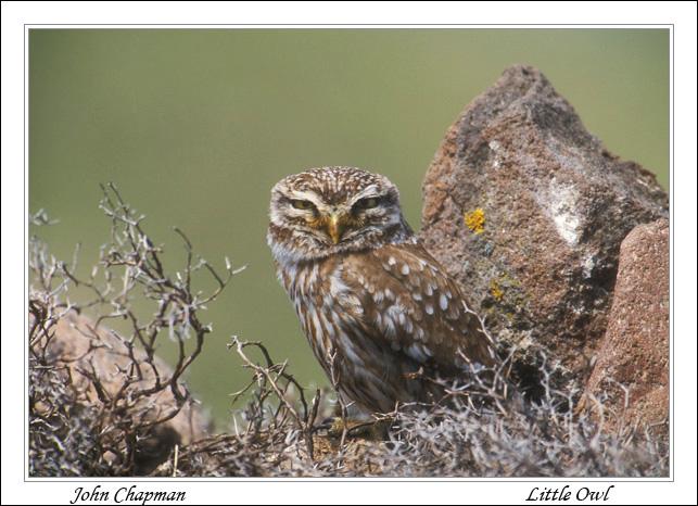 Little Owl Les Vos.
