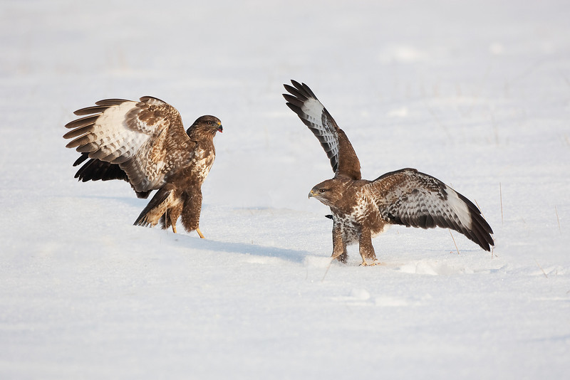 Buzzards Fighting. John Chapman.