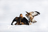 Red kite and a Buzzard. John Chapman.