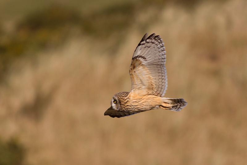 Female Short Eared Owl. John Chapman.