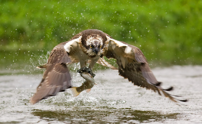 Osprey in slow motion. John Chapman.