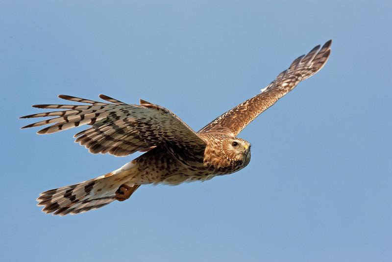 Female Hen Harrier. John Chapman.