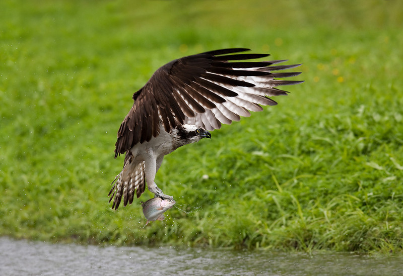 Osprey with a Fish.