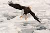 Steller,s Eagle.