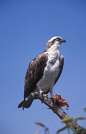 Osprey. Florida.