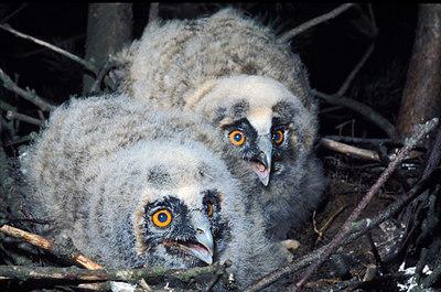 Long Ear Owl Chicks. John Chapman.