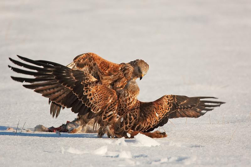 Red Kites Fighting.