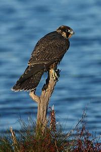 066120 Peregrine Falcon