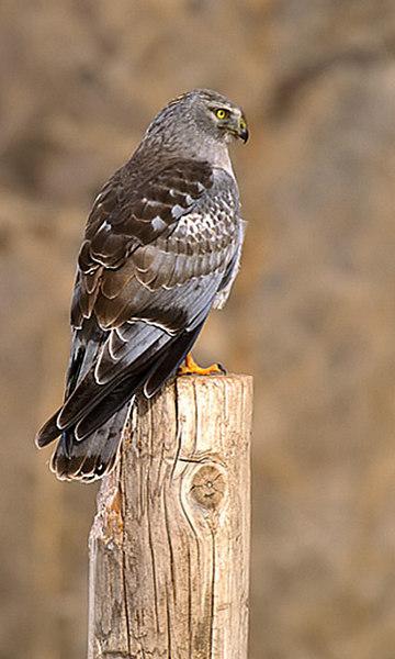 Cock Northern Harrier. John Chapman.