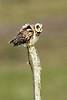 Short-eared Owl. John Chapman.