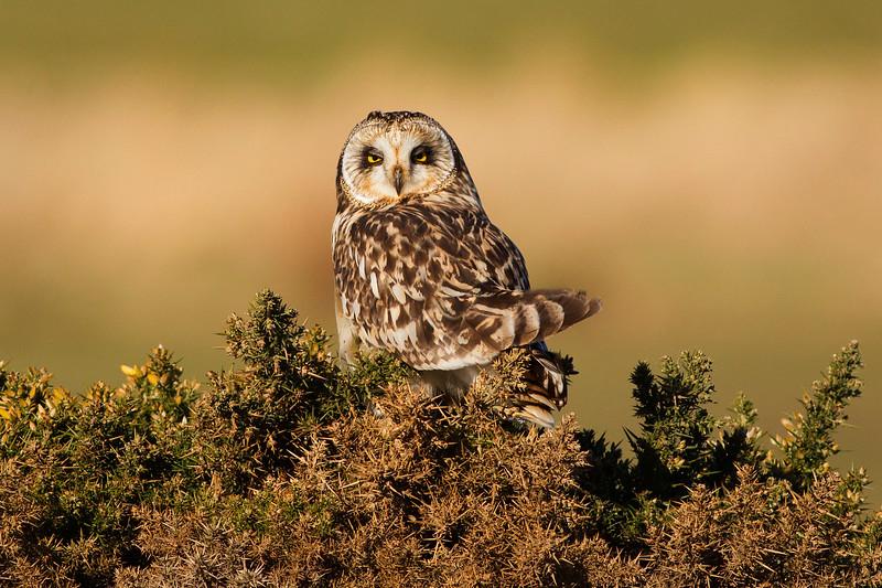 Short Eared Owl. Female. John Chapman.