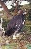 Golden Eagle Chick 12 Weeks Old. John Chapman.
