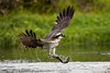 Osprey with Fish. John Chapman.