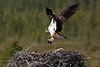 Osprey with nesting material.
