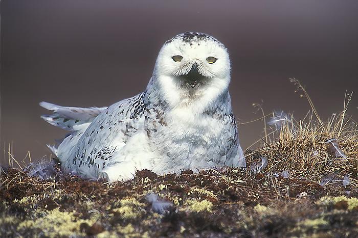 Snowy Owl John Chapman.